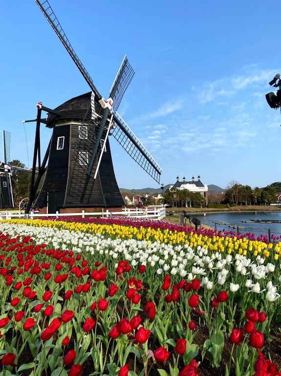 ハウステンボスの風車とチューリップの写真