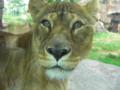 四天王動物園のライオン