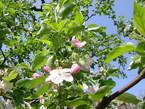 林檎の摘花1