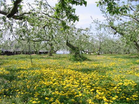 林檎の花とタンポポの季節