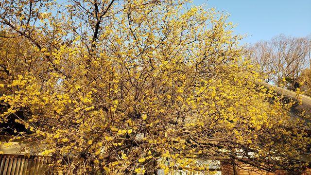 西方寺の蝋梅(ロウバイ)