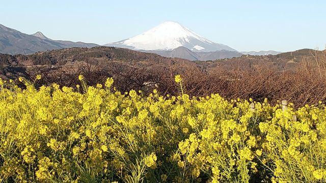 吾妻山公園から富士山と菜の花を望む