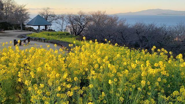 吾妻山公園の菜の花と眺望