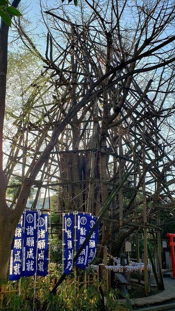 稲毛神社の御神木大銀杏