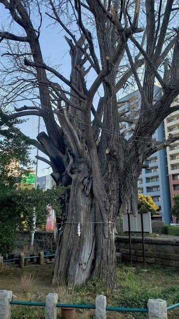 磐井神社の御神木
