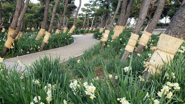 城ケ島公園の水仙