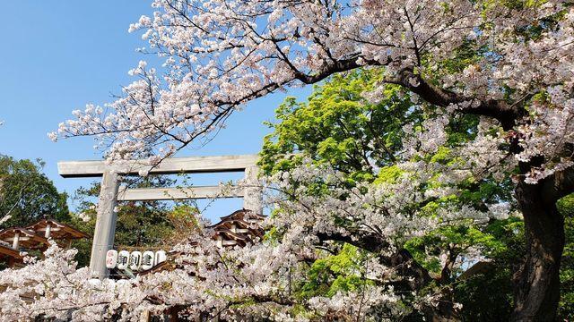 伊勢山皇大神宮二の鳥居と桜