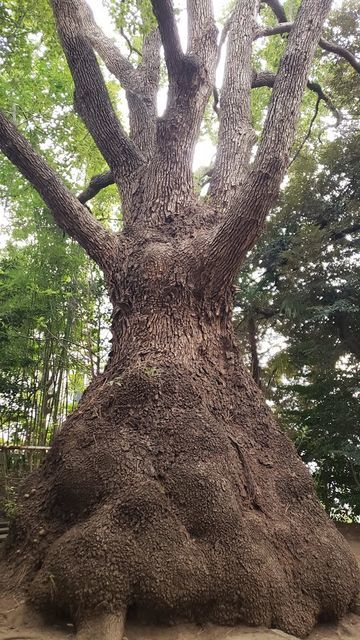 等々力玉川神社の御神木(とっくりクス)