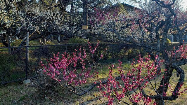 大倉山公園梅林