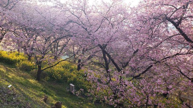 西平畑公園の河津桜と菜の花