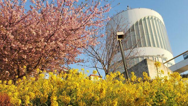 西平畑公園の河津桜と菜の花と松田ハーブガーデン