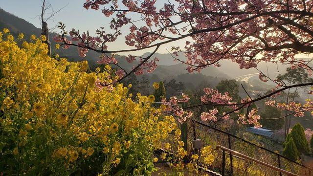 西平畑公園の河津桜、遠くに東名高速道路を望む