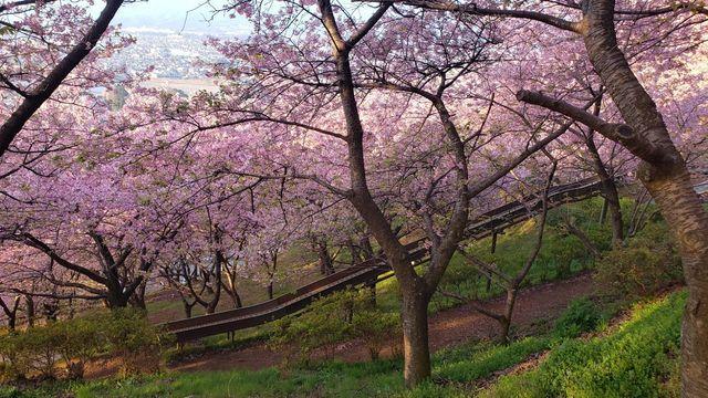 西平畑公園の河津桜とすべり台