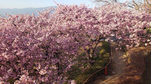 西平畑公園の河津桜と眺望