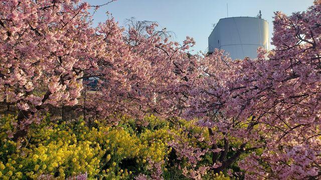 西平畑公園の河津桜と菜の花、そして松田山ハーブガーデン
