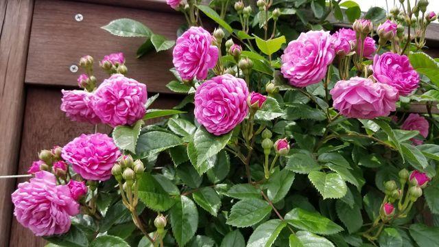 横浜イングリッシュガーデンの5月のバラ