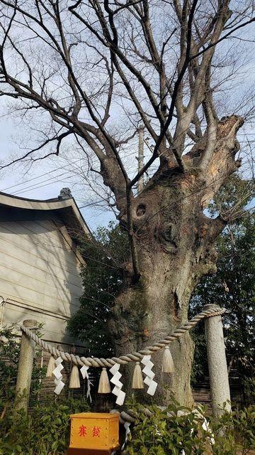 溝口神社の御神木/長寿けやき