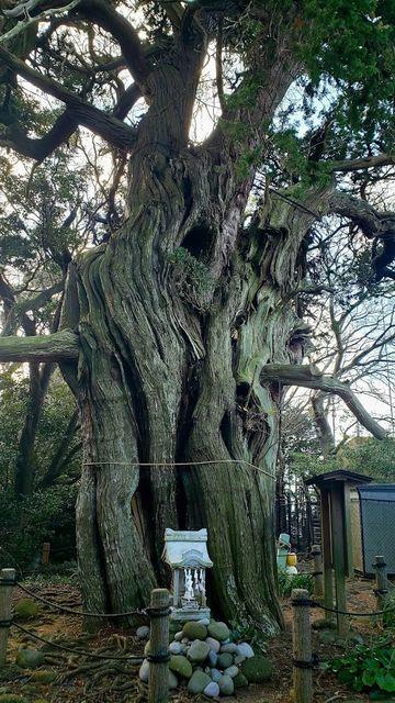 大瀬神社の御神木