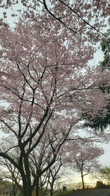 飯山観音の桜