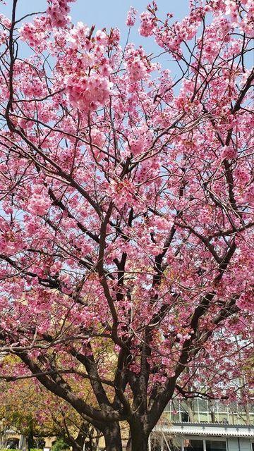 横浜公園のヨコハマかんひざくら