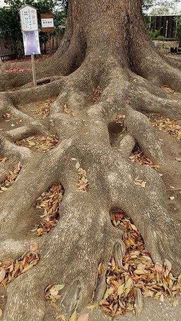 日々神社のご神木