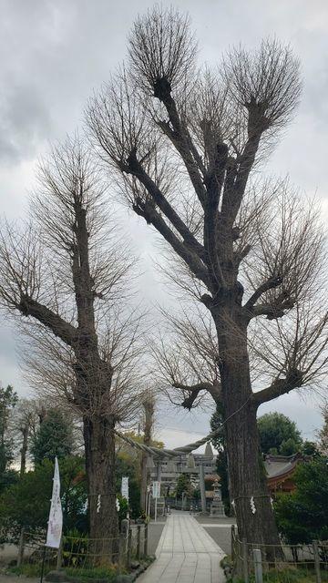 亀ヶ池八幡宮の御神木