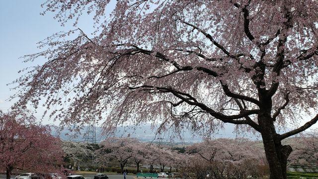 冨士霊園の桜