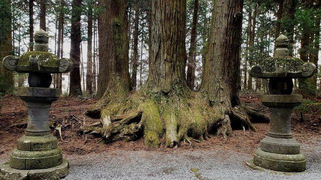 北口本宮浅間神社の参道の杉
