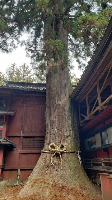 北口本宮浅間神社のご神木