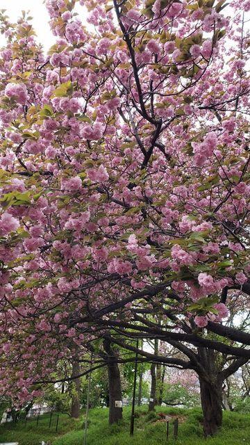 菊名桜山公園の八重桜