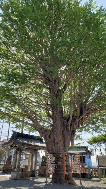 鴨居八幡神社のご神木