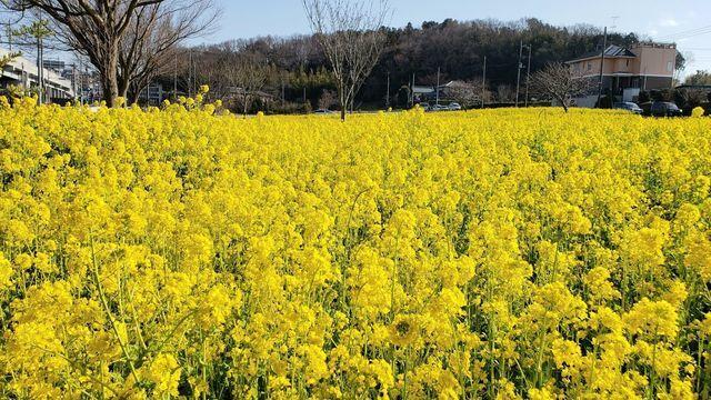 川和町菜の花畑