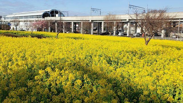 川和町駅の菜の花畑