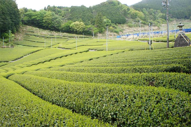 藤枝市の茶畑