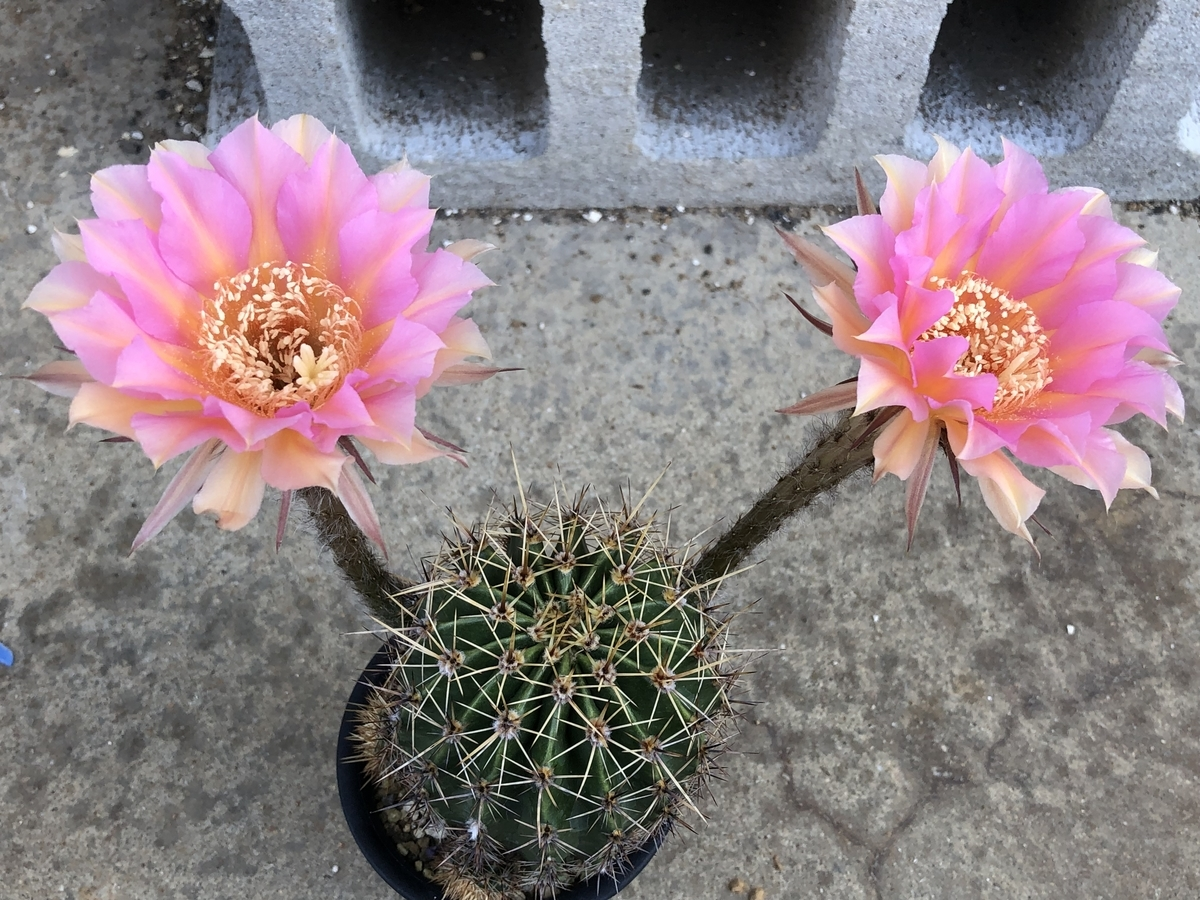 f:id:cactuspower:20210617234943j:plain