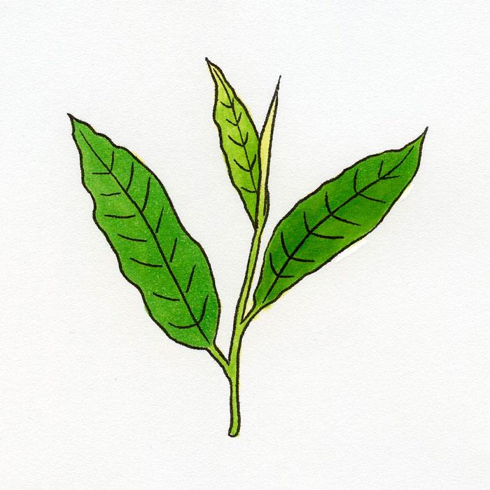 「栄養と料理」(女子栄養大学出版部)2021年6月号 連載「機能性成分のひみつ」第36回 緑茶