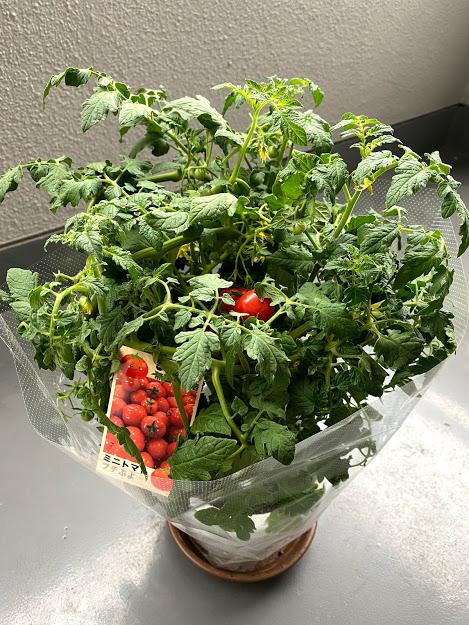 ミニトマトの苗