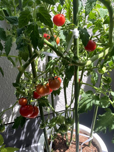 ベランダでミニトマトの栽培
