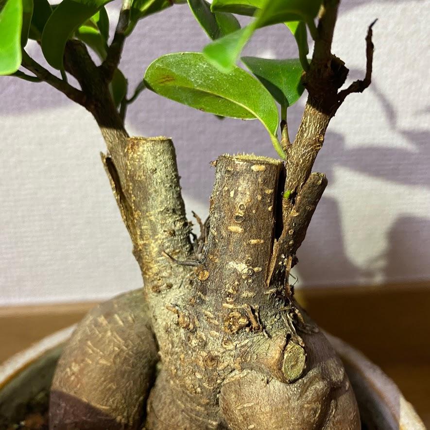 ガジュマルの接ぎ木