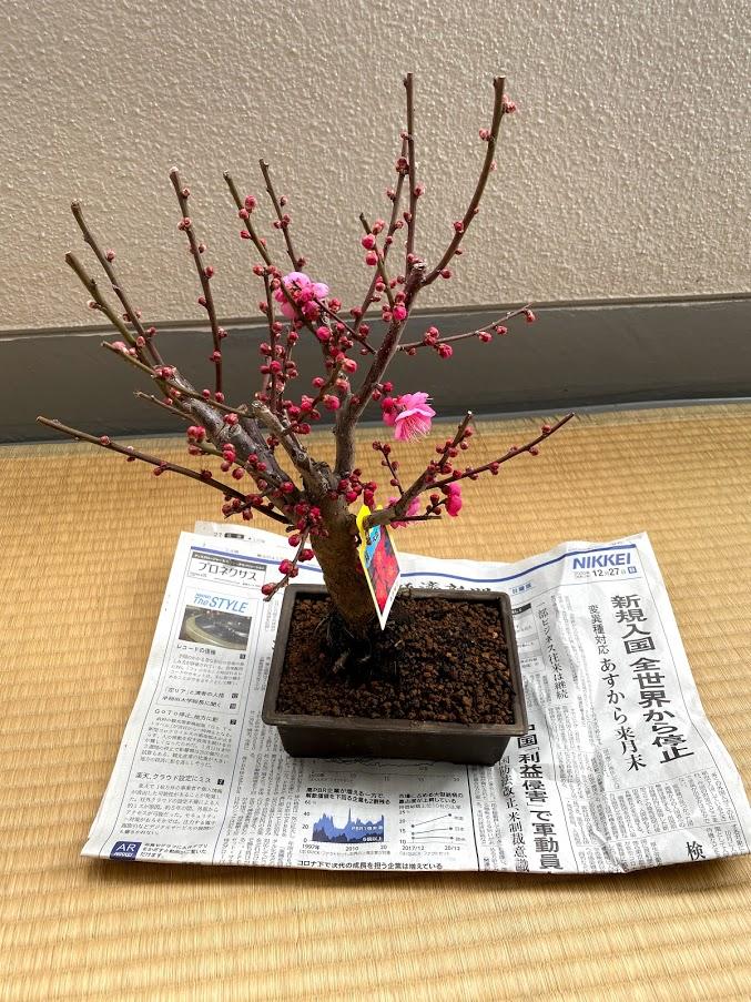 梅の木の盆栽