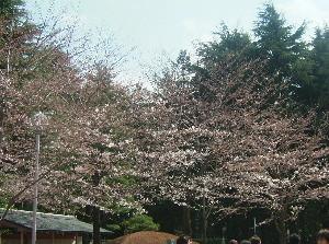 2008春天文学会代々木の桜