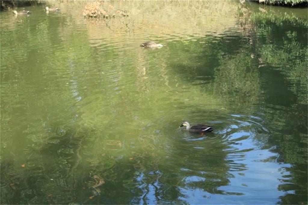 堀の水と鴨