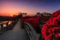 京都新聞写真コンテスト   朝日を浴びる霧島躑躅