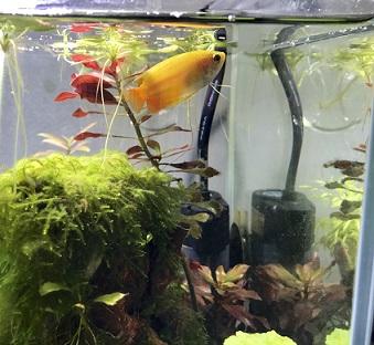 熱帯魚のゴールデンハニードワーフグラミー