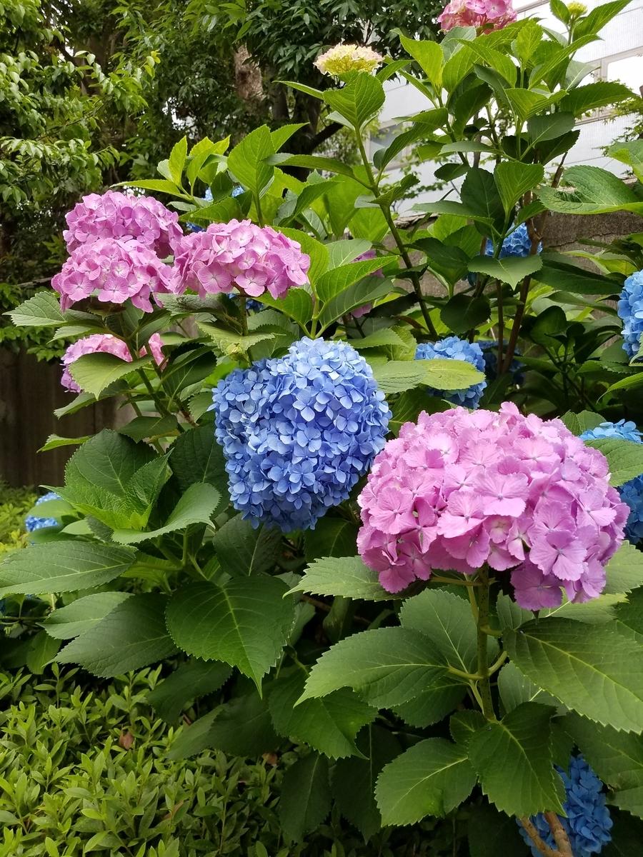 ajisai_flower