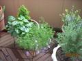[花]ブラキカムと、においすみれの葉っぱ