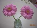 [花]ピンクのガーベラ