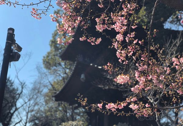 椿山荘を訪れた時は河津桜が満開でした