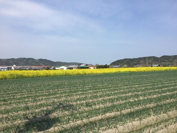 淡路島の菜の花畑