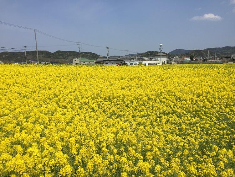 淡路島洲本市 春の菜の花